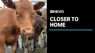 North-West cattle farmers welcome new livestock saleyards after series of shutdowns   ABC News