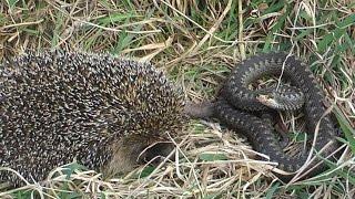 Ёжик и змея