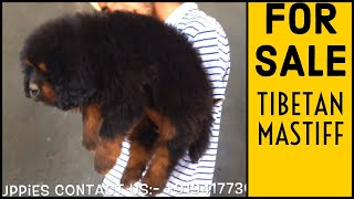 Tibetan mastiff puppies | +919417730301 | in punjab, india | babber x goodo puppies #tibetanmastiff