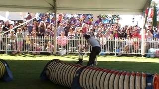 Miniature Schnauzer Pippa Excellent Jumping 1 Perth Royal Show 2013