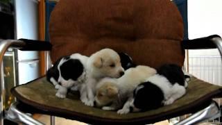 ボーダーコリーの子犬ちゃん達です。 レッド&ホワイト、ブラック&ホワ...