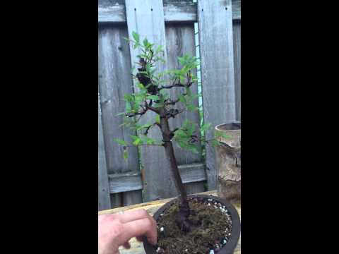 American elm / Florida elm Bonsai first style after hard trim update