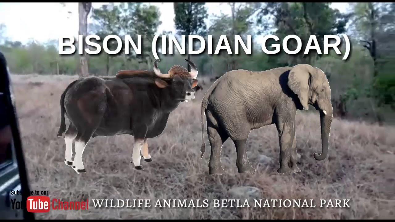 Indian goar bison Wildlife animals betla national park
