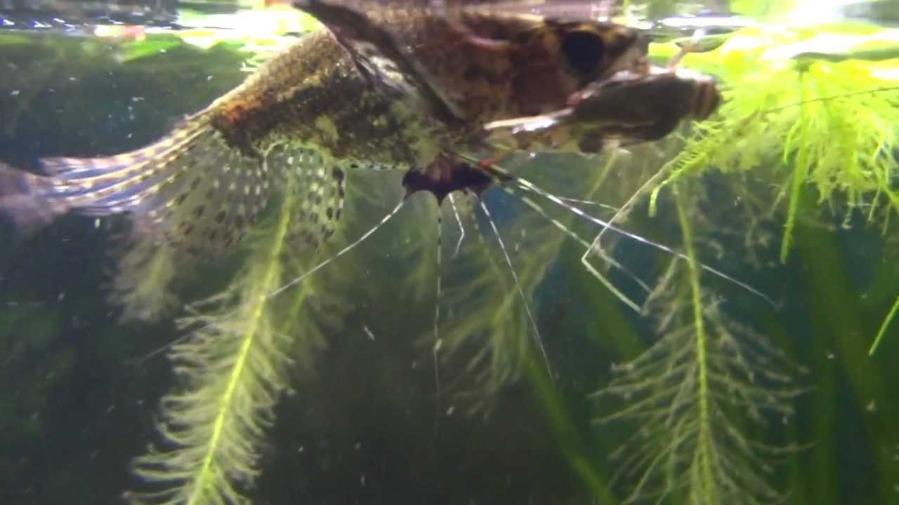 Butterfly eating fish for Fishing with crickets