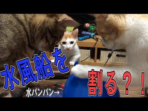 【ずぶぬれ】猫に水風船を見せたらまさかの展開に大慌て!