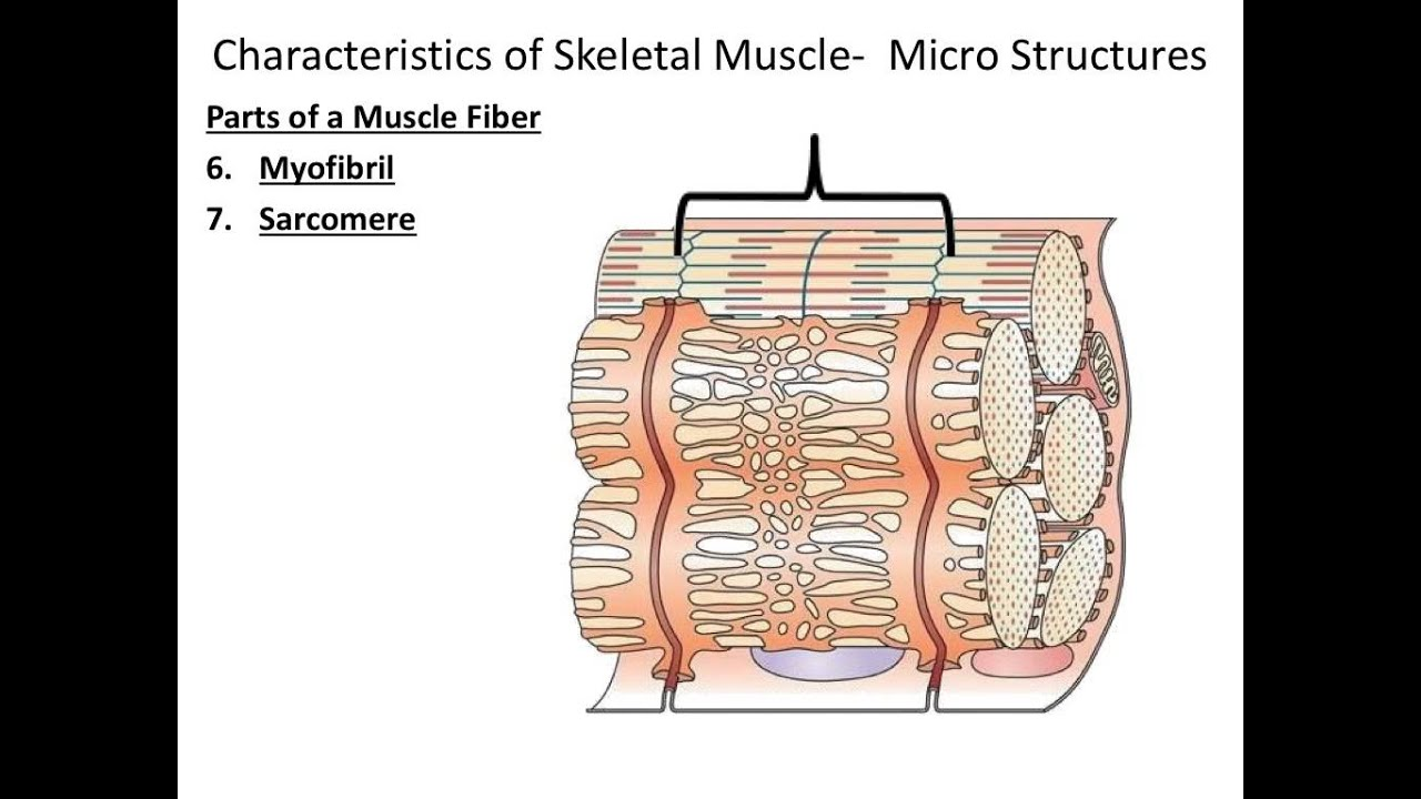 Muscular System Macro Micro Structures Youtube