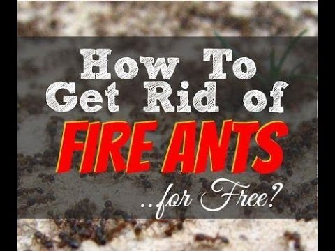 how to kill and get rid of fire ants youtube. Black Bedroom Furniture Sets. Home Design Ideas
