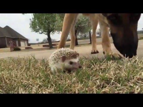 German Shepherd meets Hedgehog