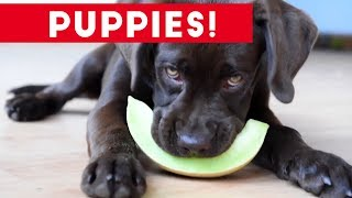 Download Cutest Puppies Playing Around 2017 | Funny Pet Videos Mp3 and Videos