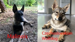 Czechoslovakian Wolfdog vs. Belgian Malinois, Best friend