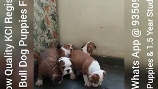 British Bull Dog Show Quality KCI Puppies For Sale In Delhi NCR Mumbai Gujrat Banglore Hydrabad Goa