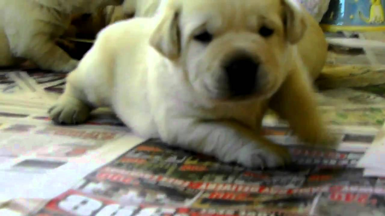 Fat Labrador Puppies Youtube