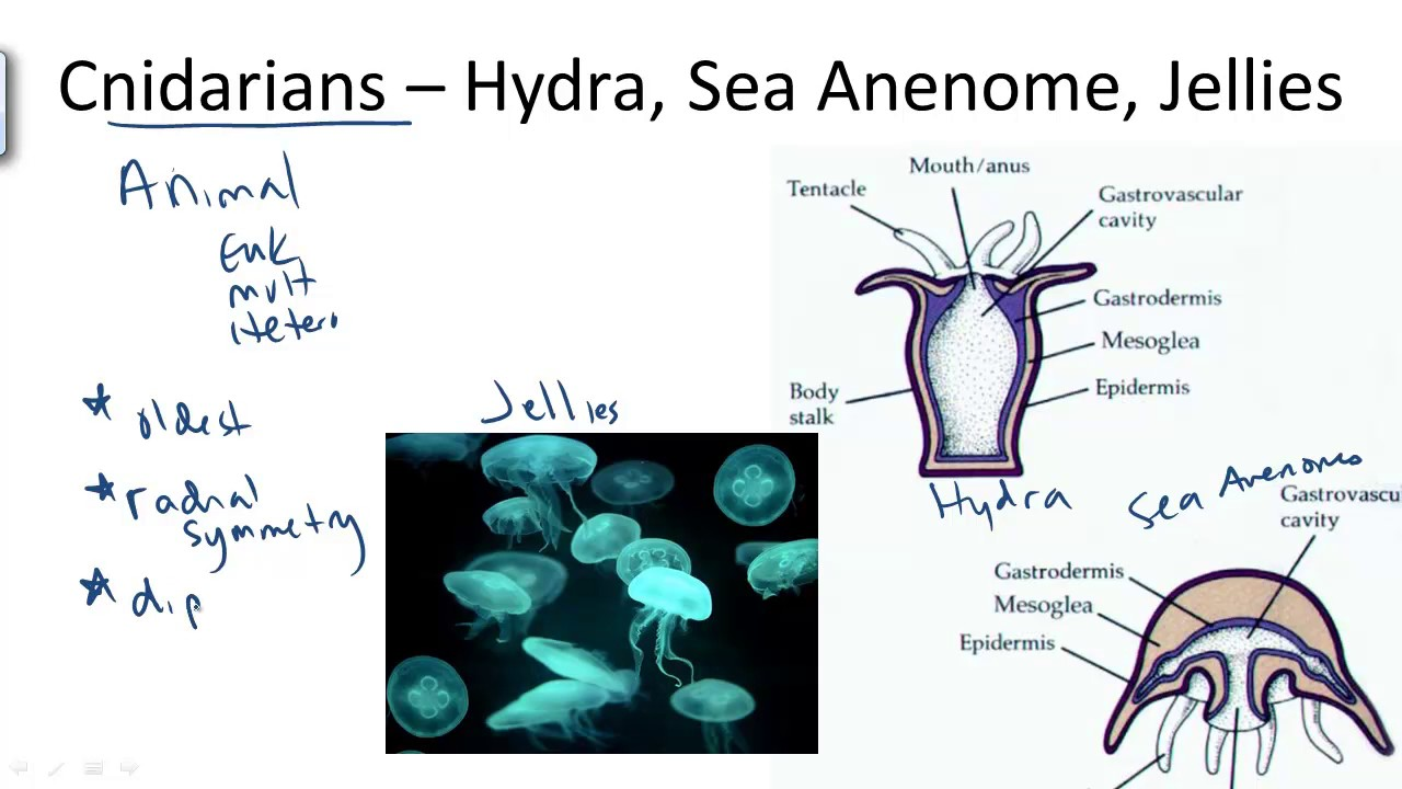 Cnidarians; Hydra and Jellyfish - YouTube