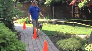Aggressive Dog Rehab, Off Leash Work Solid K9 Training