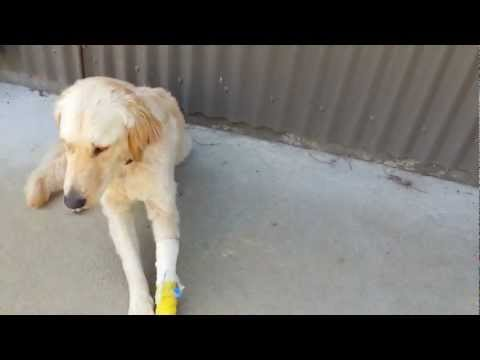 Dog Twitching With Muscle Tremors