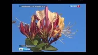 Россия 1. Вести Москва. Жимолость Гекрота.