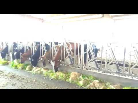 How Cattles feed on our hydroponic fodders in Nigeria