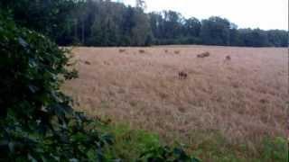 jelenie kapitalny byk dziki Rogacz Stargard ambona polowanie