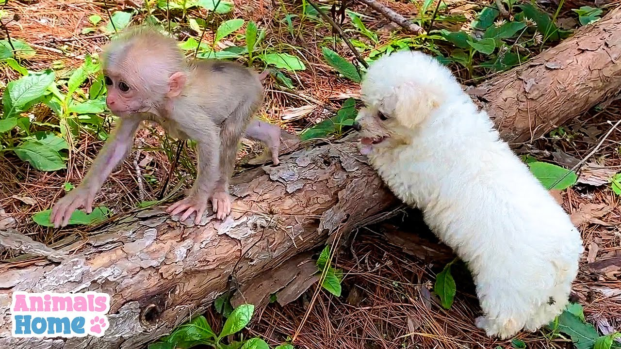 Baby monkey teach poodle how to climb tree