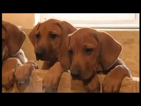 etana-the-dog-gives-birth-to-17-rhodesian-ridgeback-puppies