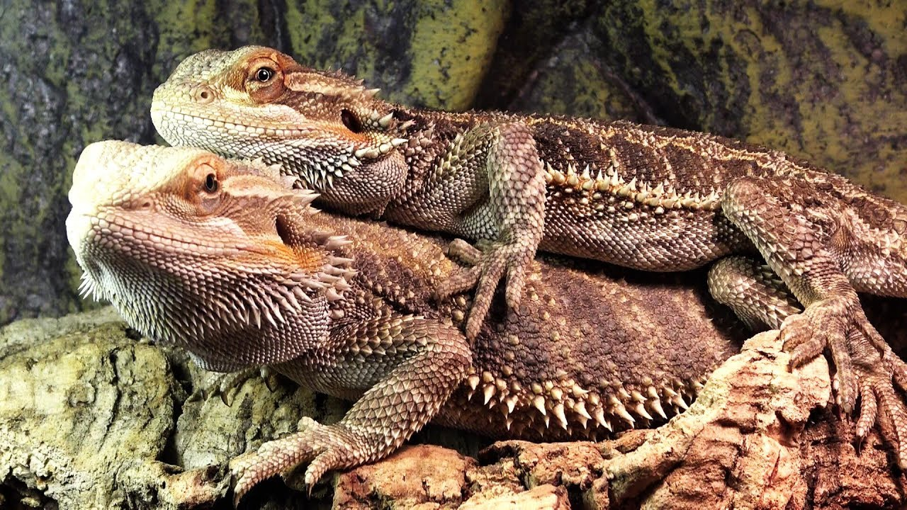 Bearded dragon mating behaviour  Bearded Dragon Care Info
