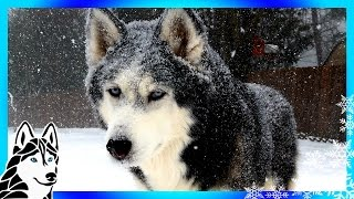 HUSKIES PLAYING in a SNOW STORM | Huskies play in the Snow Blizzard