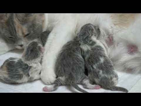 Новорожденные британские котята (Litter- S2)