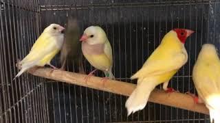 コキンチョウ LOVEBIRDFUKUOKA(ラブバードフクオカ) 2018.11.18 thumbnail