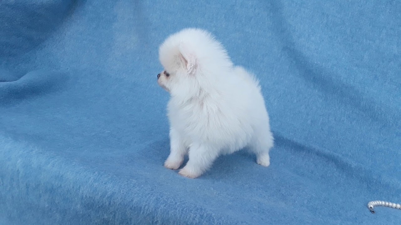 Pomeranian Puppies Sale In West Palm Beach Fl Youtube