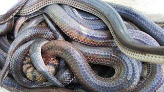 Bình Trần bẩy rắn cũng có ngày này/Snake trap in Soc Trang Vietnam.