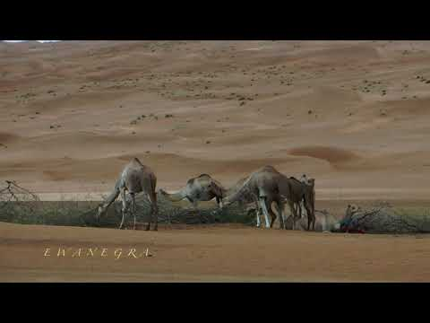 OMAN - PART 12: WAHIBA SANDS - CAMELS IN THE DESERT