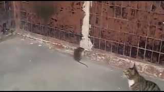 Кот и крыса! Супер бой кота и крысы! Жесть! Смотреть всем!