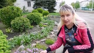 видео Лиатрис: посадка и уход в открытом грунте, выращивание из семян, фото в ландшафтном дизайне