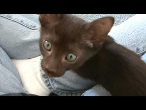 Havana Brown kittens 8 weeks old