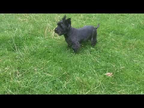Cairn Terrier BABE Fergus mooching. x