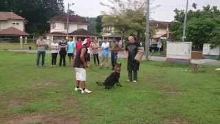 Young Adult Dog Trained By Mr.helmut In Malaysia , Semenyih