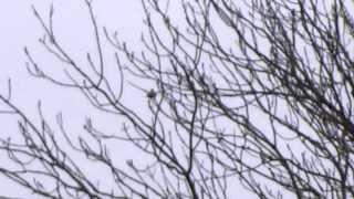 First Cuckoo / Eerste koekoek