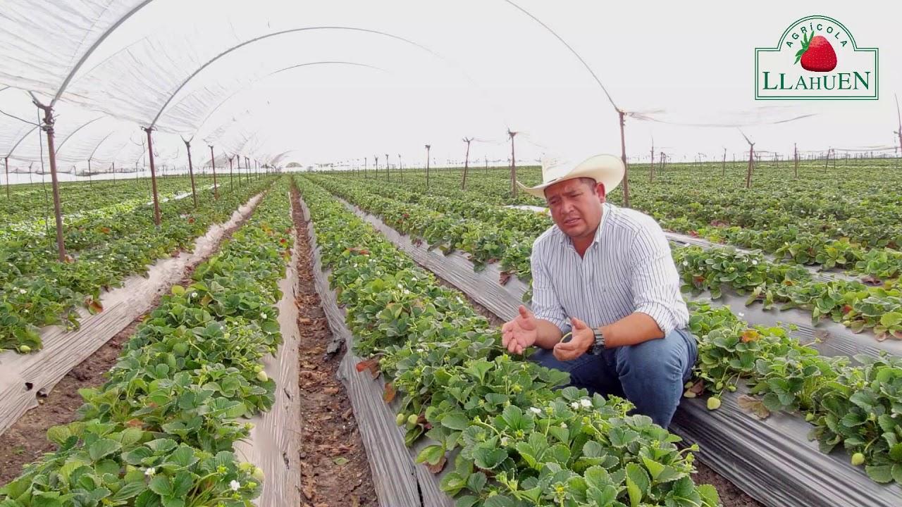 Agricola Llahuen: Historias de Productores. Marco Téllez, México.