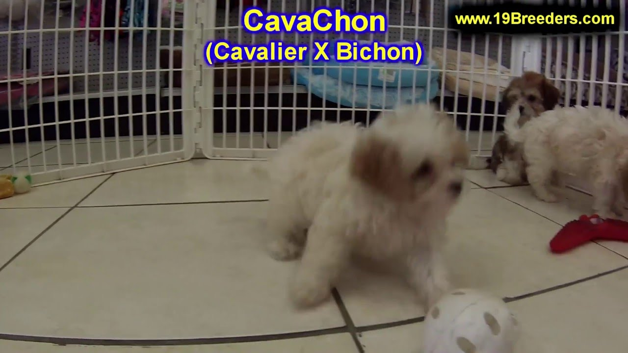 Cavachon, Puppies, Dogs, For Sale, In Charlotte, North ...