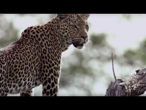 Leopard Mother Rescues Cub From Wild Dogs   BBC Earth