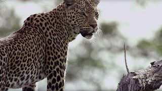 Leopard Mother Rescues Cub from Wild Dogs | BBC Earth thumbnail