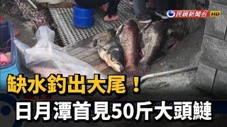 缺水釣出大尾!日月潭首見50斤大頭鰱-民視新聞