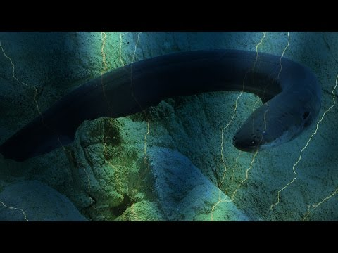 Electric eel uses high-voltage shocks to locate and stun prey--Vanderbilt research