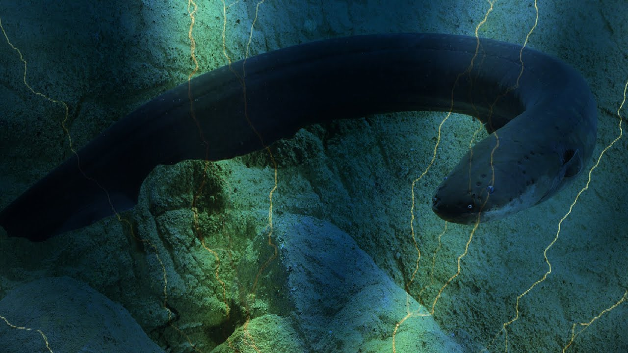 Electric eel uses high-voltage shocks to locate and stun ...