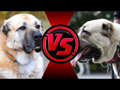Кангал против гампра   Кто же победит?