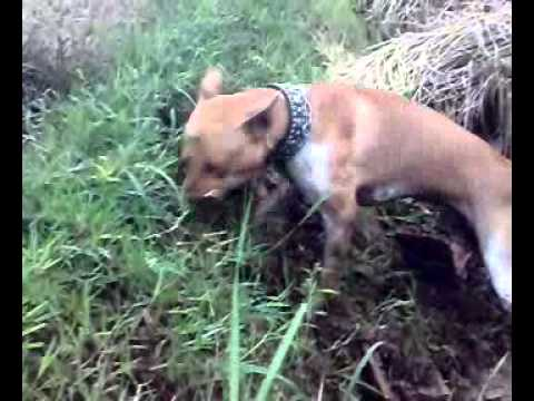 Video Anjing Berburu