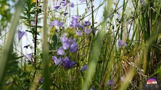 ВОЛШЕБСТВО ЛЕТНЕГО ЛУГА, полевые цветы и травы. Красивое видео, красивая природа, РЕЛАКС.