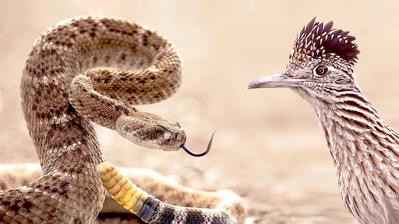 Roadrunner Attacks Rattlesnake