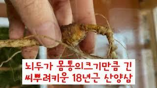 씨장산양삼 씨뿌린장뇌삼 18년근산양삼 자연산삼같은산양산…