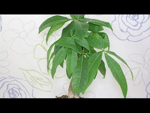 pachira aquatica gl ckskastanie guiana chestnut youtube. Black Bedroom Furniture Sets. Home Design Ideas